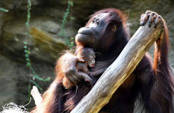 Hsiao-Ning hat alles im Griff. Obwohl es für die Handaufzucht das erste Baby ist, hat sie sich sofort perfekt in ihrer Mutterrolle gefunden. Sie ist inzwischen auch regelmäßig auf der Anlage zu sehen.