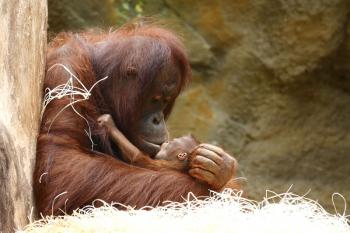 Mit großer Hingabe kümmert sich Neu-Mama Hsiao-Ning um ihr erstes Baby und macht damit auch ihre Tierpfleger glücklich. Am 27. Juli konnten auch die Besucher erstmals Hsiao-Ning und ihren Nachwuchs im Darwineum bewundern.