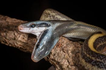 Die Schlangen-Mutter legt ihre Eier an einem feuchten, warmen Platz ab. Die jungen Schlangen sind sofort nach ihrem Schlupf selbständig. Auch die Rostocker Schlange mit zwei Köpfen kam problemlos zurecht.