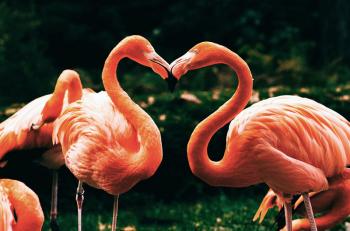 Flamingos in Liebe zur Tour d'amour am Valentinstag im Rostocker Zoo.
