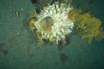 Die Polarmeere beherbergen eine faszinierende Vielfalt an Lebensformen. Was es für sie bedeutet, wenn eine Eisfläche die Meeresoberfläche bedeckt, ist eines der Themen des Vortrags von Heike Link.