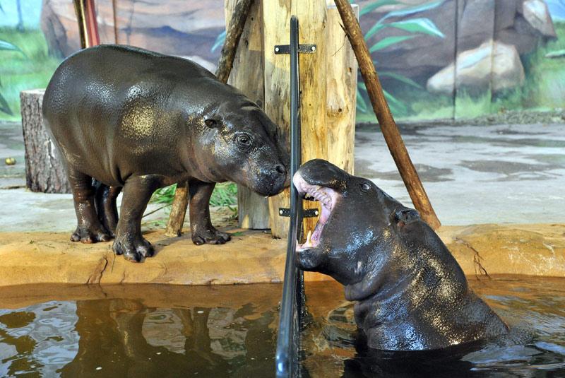 Zoo Rostock: Neue Außenanlage für Zwergflusspferde