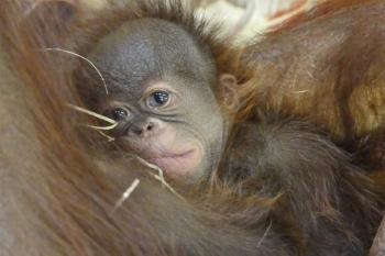 Das kleine Orang-Utan-Mädchen schmiegt sich ganz fest an seine Mama.
