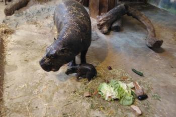 Nimba und ihr Baby können ihre ersten Tage ungestört im Zwergflusspferdhaus verbringen.