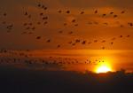 Foto: Tiere, Vögel, Kraniche © BildPix.de - Fotolia.com
